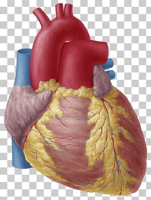 Heart Anatomy Atrium Aortic Arch Human Body PNG