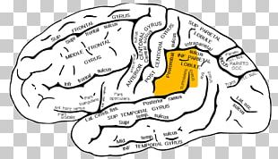Supramarginal Gyrus Angular Gyrus Parietal Lobe Lobes Of The Brain PNG