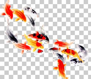 Koi Fish Computer File PNG