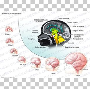 Fornix Human Brain Development Of The Nervous System PNG