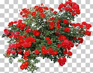 Rose Shrub Flower PNG