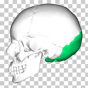 Temporal Bone Occipital Bone Skull Temporal Lobe PNG