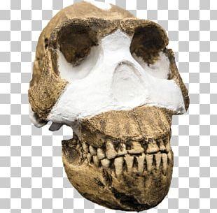 Homo Naledi Homo Sapiens Büyük Insansı Maymunlar Hominina Human Evolution PNG