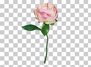 Garden Roses Cabbage Rose Cut Flowers Peony PNG