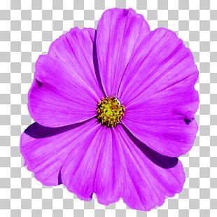 Garden Cosmos Violet Family Violaceae PNG