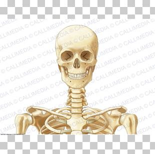 Head And Neck Anatomy Bone Thorax Skeleton PNG