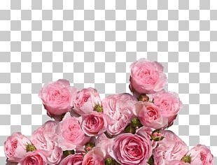 Garden Roses Cabbage Rose Pink Floribunda Flower PNG