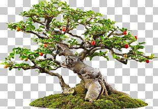 Tree Bonsai Icon PNG