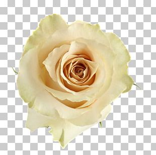 Garden Roses Cabbage Rose Floribunda Cut Flowers Flower Bouquet PNG