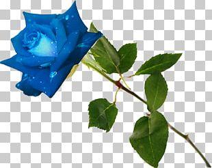 Blue Rose Garden Roses Flower Rosa Gallica PNG