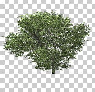 Shrub Tree Woody Plant Hydrangea PNG