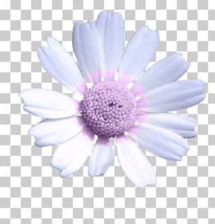 Daisy Family Common Daisy Oxeye Daisy Chrysanthemum Transvaal Daisy PNG