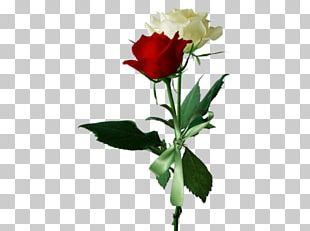 Rose Flower Red White PNG