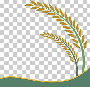 Paddy Field Oryza Sativa Rice Crop PNG
