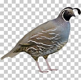 Zoo Tycoon 2 Bird North America Quail Wiki PNG