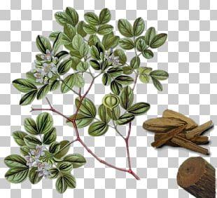 Guaiacum Officinale Guaiacum Sanctum Lignum Vitae Officinalis Tree PNG