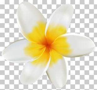 Plumeria PNG