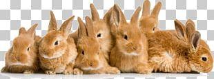Domestic Rabbit Flemish Giant Rabbit Pet Cat PNG