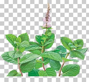Green Tea Mentha Spicata Peppermint Organic Food PNG