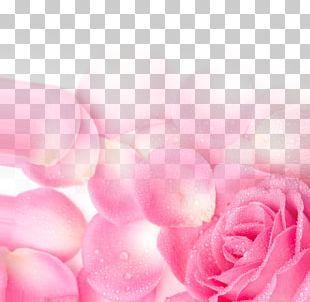 Garden Roses Pink Petal PNG