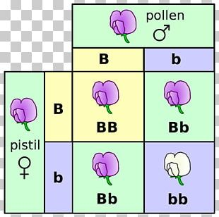Punnett Square Mendelian Inheritance Genetics Monohybrid Cross Genotype PNG