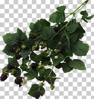 Blackberry Fruit Thorns PNG