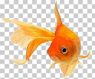 Fantail Ryukin Siamese Fighting Fish Aquarium Orange PNG