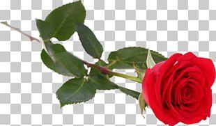 Garden Roses Cabbage Rose China Rose Floribunda French Rose PNG