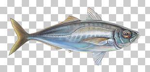 Oily Fish Thunnus Mackerel Sardine PNG