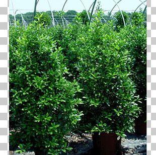 Elizabethtown Tree Shrub Garden Radcliff PNG