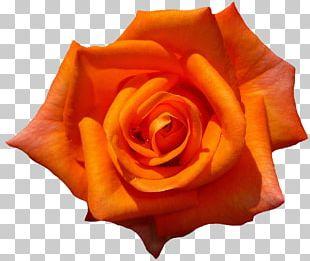 Rose Flower Preservation Desktop PNG