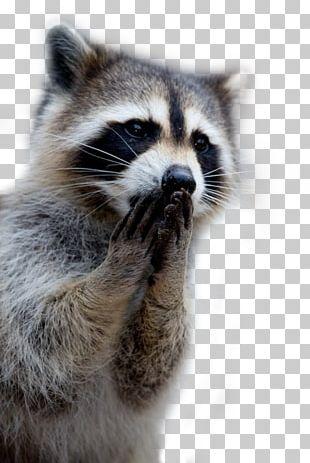 Raccoon Cat Giant Panda Cuteness Puppy PNG