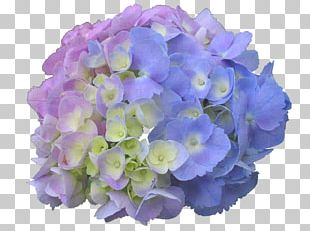 French Hydrangea Panicled Hydrangea Flower Garden Dear Spring PNG