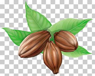 Cocoa Bean Theobroma Cacao PNG