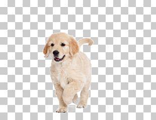 Golden Retriever Puppy Dog Breed Labrador Retriever Companion Dog PNG