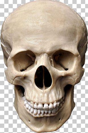 Human Skull Symbolism Stock Photography Anatomy PNG