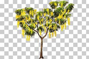 Golden Shower Tree Crown Plant Cassia Javanica PNG