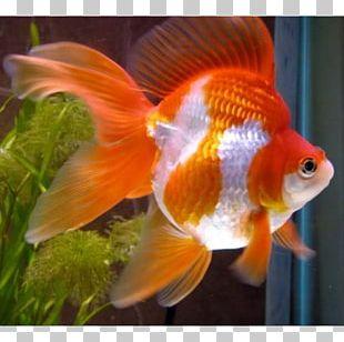 Oranda Siamese Fighting Fish Ryukin Veiltail PNG