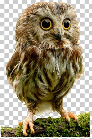 Elf Owl Bird Cuteness Infant PNG