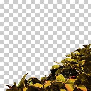 Sweet Tea Oolong Green Tea PNG