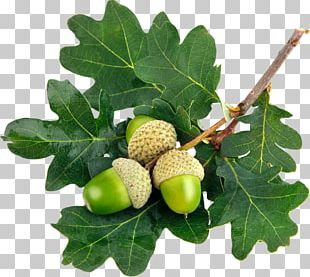 Acorn Leaf Oak Stock Photography Green PNG