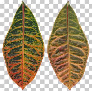 Leaf Spot Rushfoil Autumn Leaf Color PNG