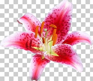 Cut Flowers Lily Coral Portable Network Graphics Floral Design PNG