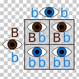 Punnett Square Dominance Genetics Eye Color PNG
