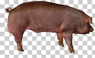 Large White Pig Livestock Pig's Ear Hogs And Pigs Pork PNG