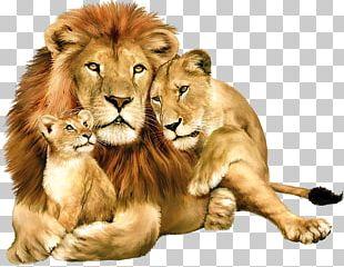 Lion Felidae PNG