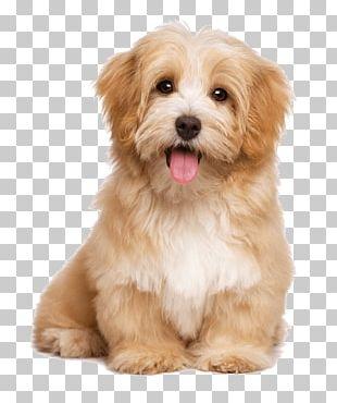 Havanese Dog Pet Sitting Labrador Retriever Puppy Cat PNG
