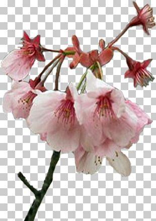 Flower Spring Cherry Blossom Plant Stem Bud PNG
