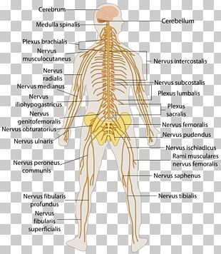 Outline Of The Human Nervous System Human Body Central Nervous System Peripheral Nervous System PNG
