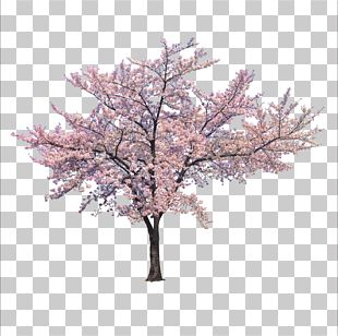 Tree Cherry Blossom Branch PNG